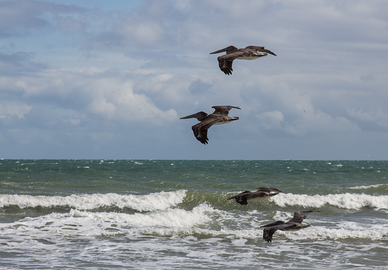 Pelicans over the surf