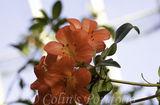 Ericaceae Rhododendron 'Rosie Posie'