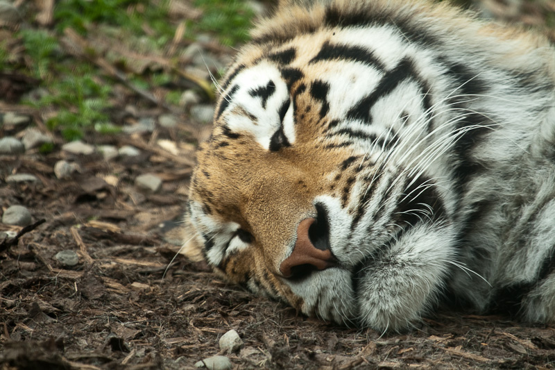 Tiger snoozing