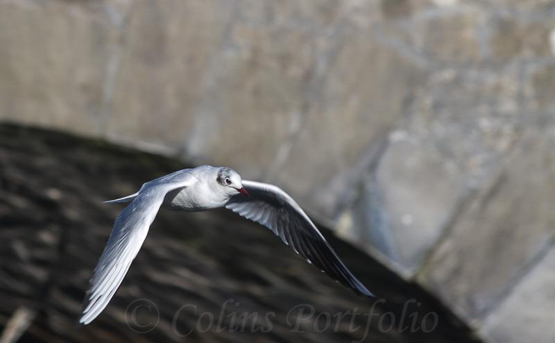 Gull near bridge