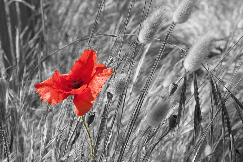 Poppy in contrast
