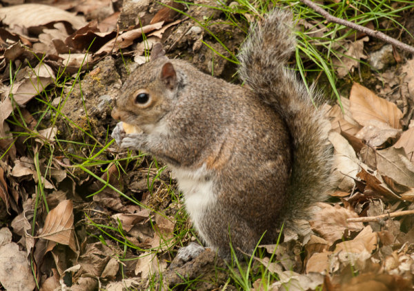 Squirrel with apple core