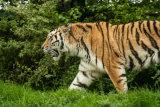 Tiger strolling