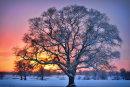 Oak Tree Winter Sunset