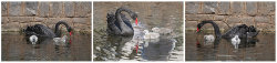 Dawlish swans by Karen Haile - Commended