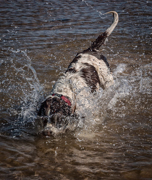 Dog diving by Janice Carrol - Commended