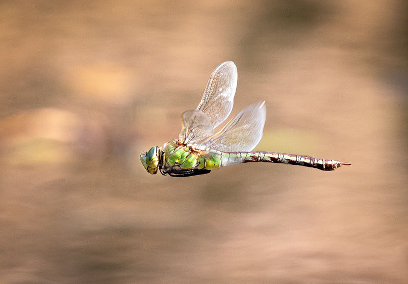 Emperor Dragonfly by David Price - Highly Commended