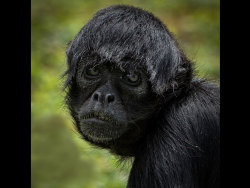 Gibbon by Jason Willis - Commended