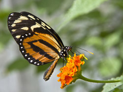 Heliconius Butterfly by Derrick Young - Commended