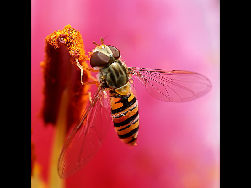 Hoverfly by Ian McConnell 19pts