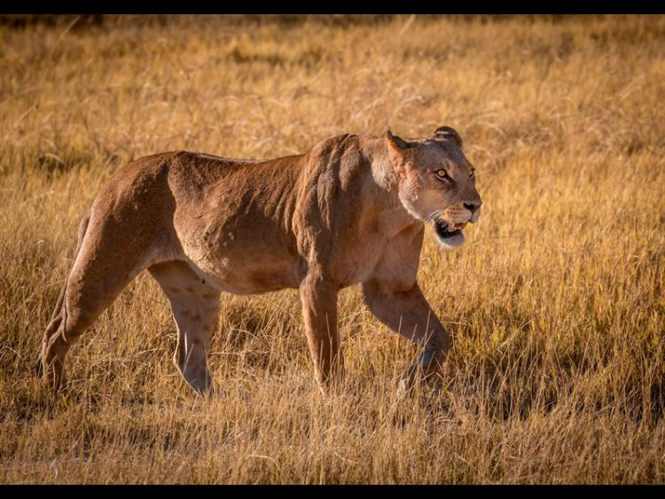 Lioness Hunting by J Malley Smith (18)
