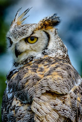 Long Eared Owl by Alan Wilson [Highly Commended]