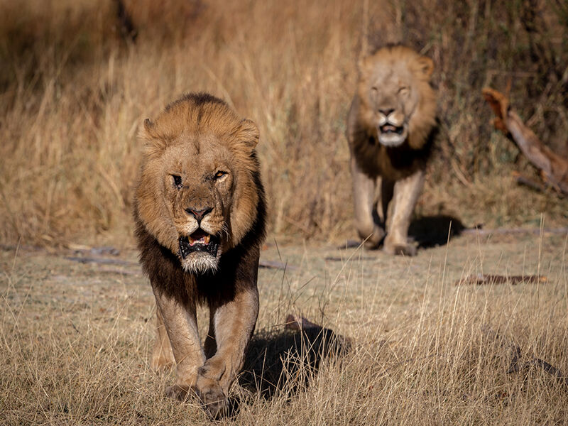 Male Lions on the Hunt by J Malley-Smith [18]