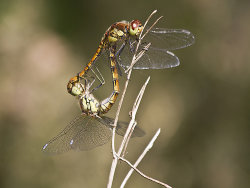 Mating dragonflies by Derrick Young - Commended
