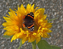 Sunny Butterfly by Chris Wood [Commended]