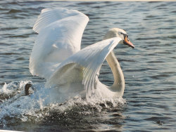 Swan Lake by Ann Draper - Commended
