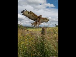 The Buzzard by Chris Wood - Highly Commended