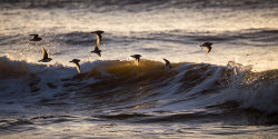 Turnstones at Dusk by Adrian Gidney - 2nd place