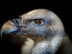 Young Vulture by Alan Wilson - 1st place