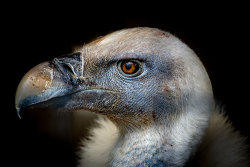 Young Vulture by Alan Wilson - 3rd place