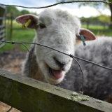 The friendly ram
