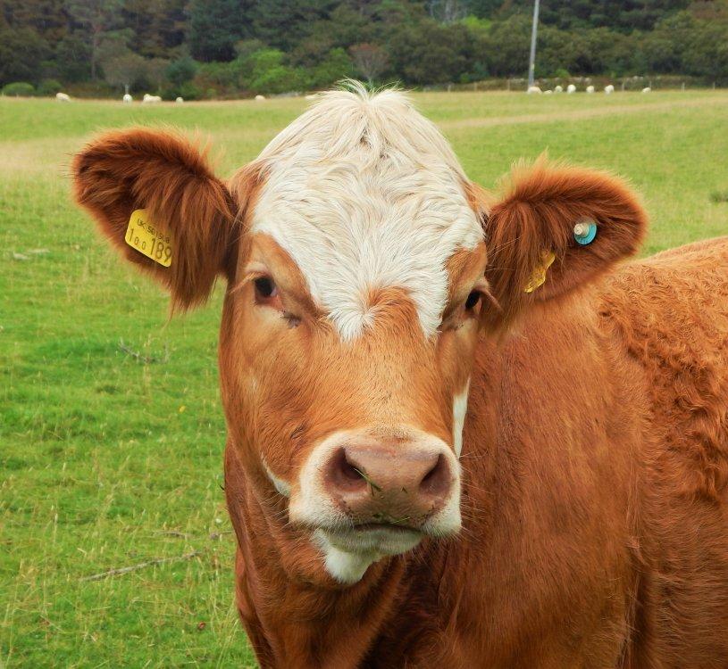 Isle of Raasay cow