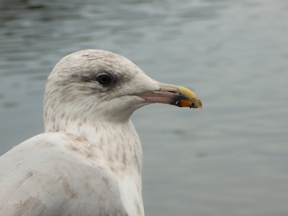 Seagull By The Sea In Portree