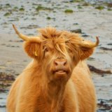Isle of Mull cow pulling a face