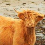 Isle of Mull cow