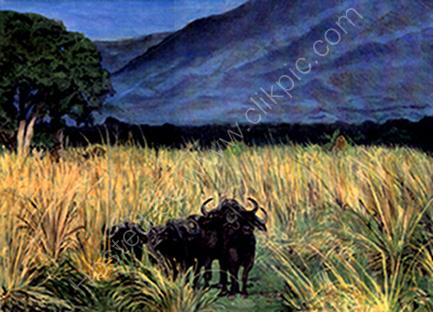 African Water Buffalo