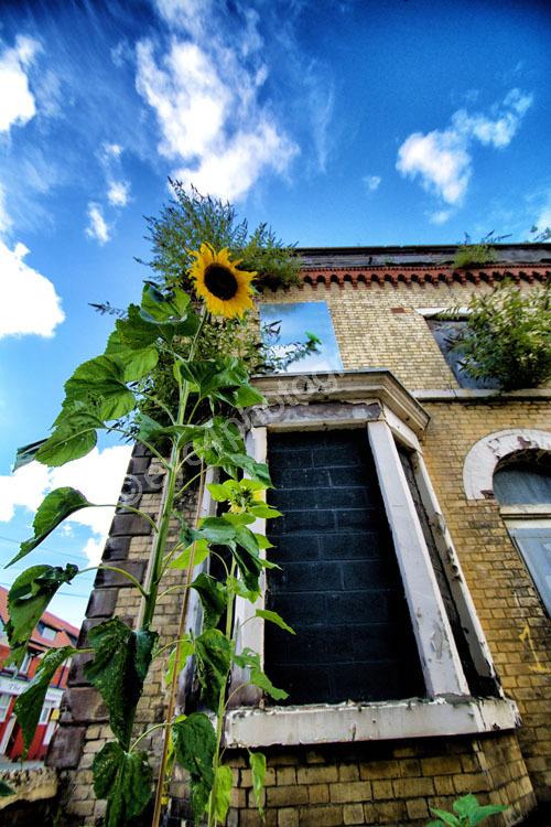 Derelect Sunflower