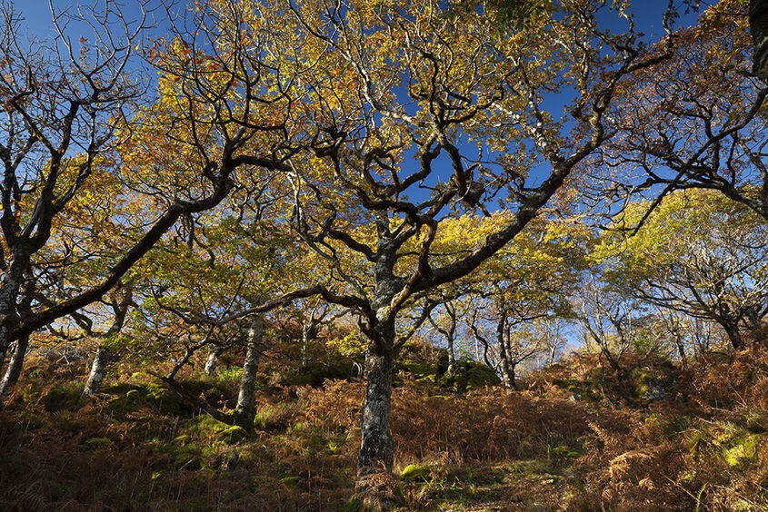 autumn oaks, glenborrodale