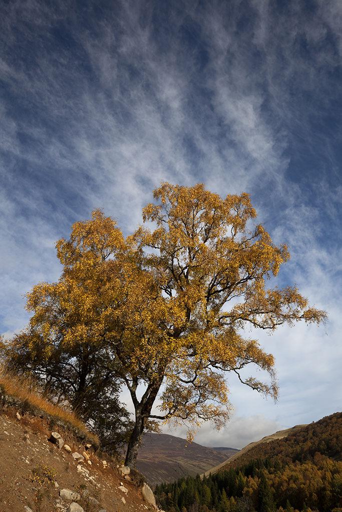 autumn tree, glen tilt