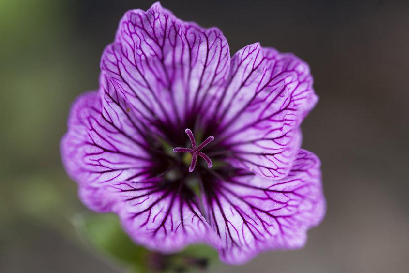 ballerina geranium
