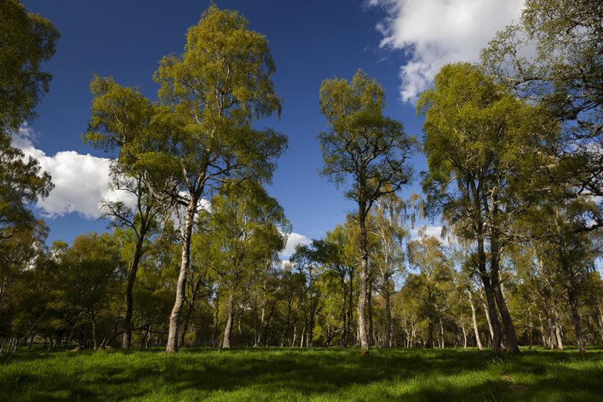 birch trees, dinnett
