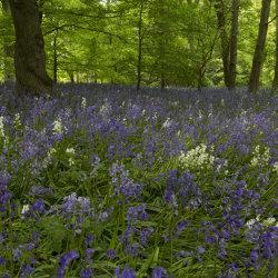 bluebells, fyvie woods