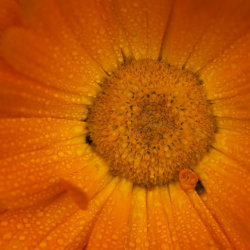 calendula, water droplets