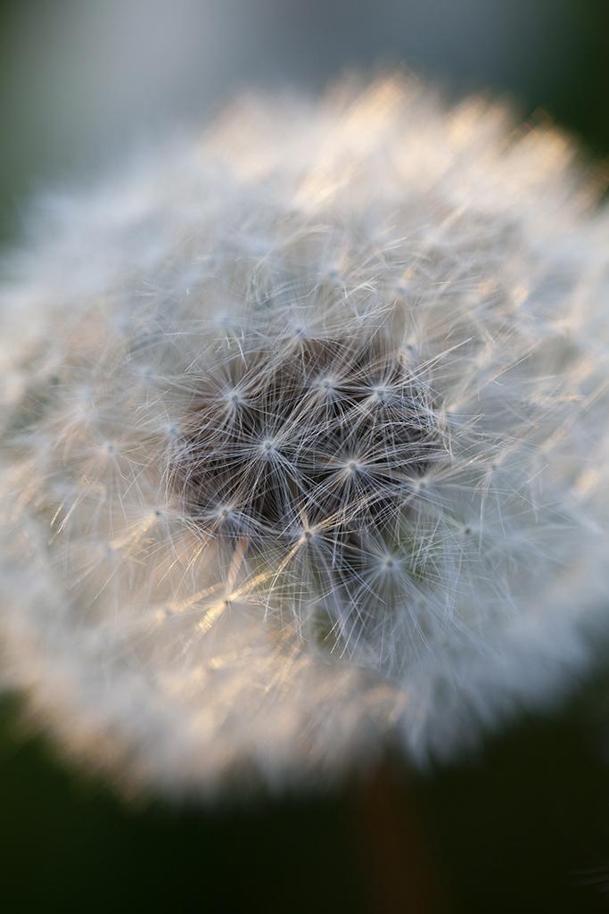 dandelion in the evening sun