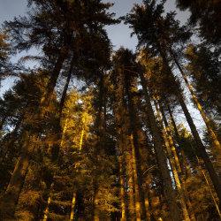 evening light, bruntyairds woods