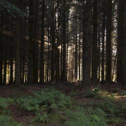 evening sun, countesswells woods