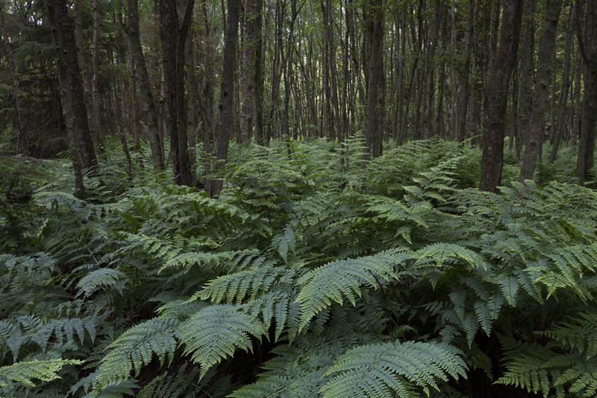 fern forest, aden country park
