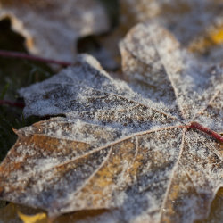 frost on autumn leaves