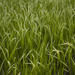 green reeds, loch of fyvie