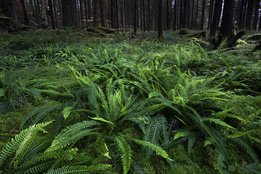 hard ferns in the forest