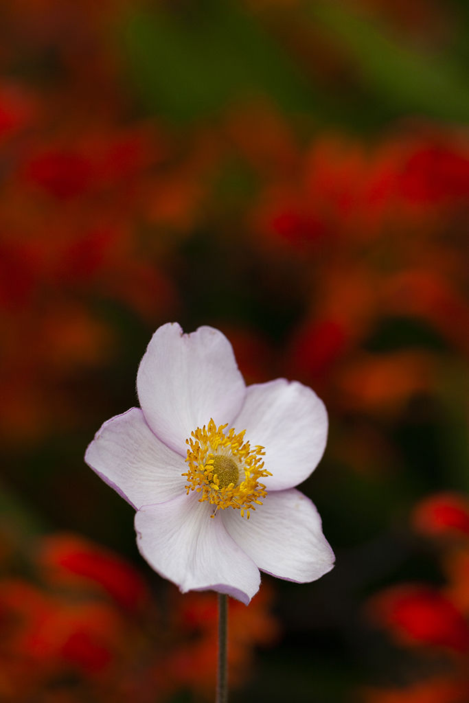lone anemone