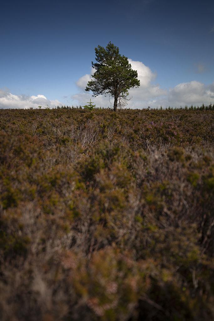 lone tree, whitehaugh forest