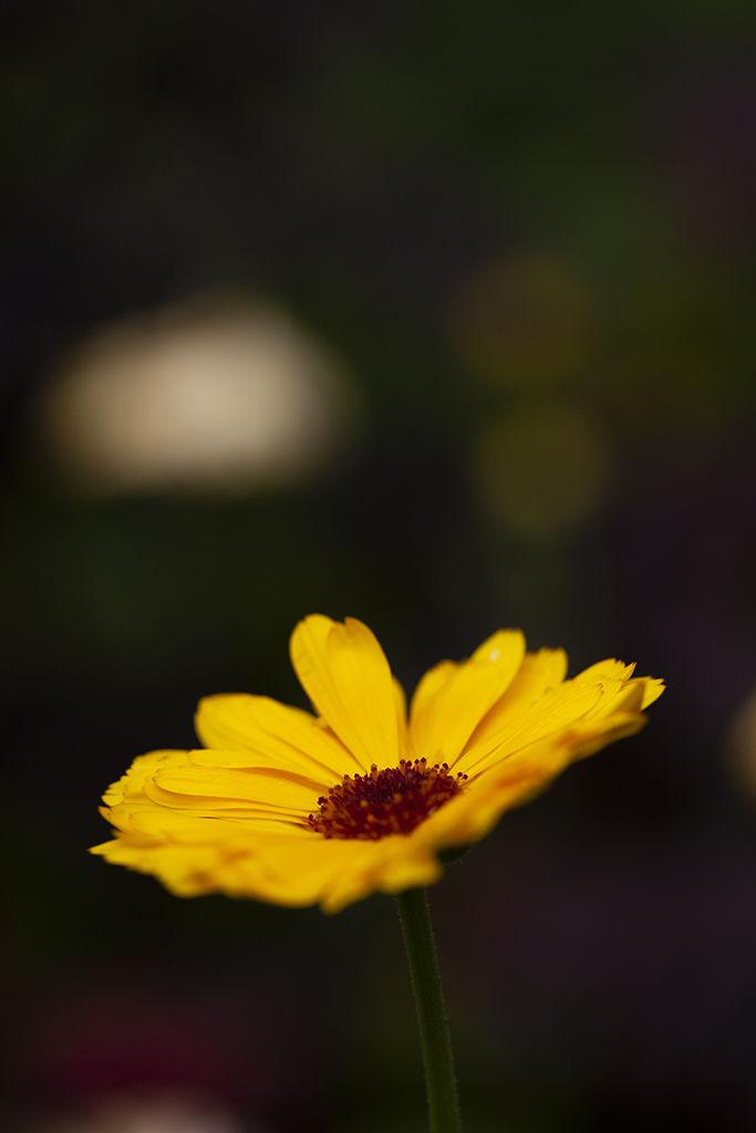marigold portrait