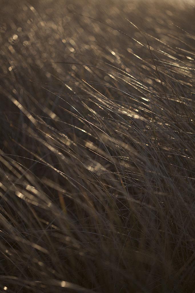 marram grass in the sun