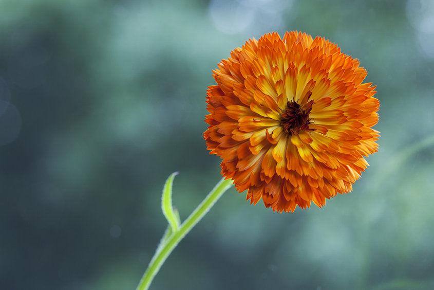 orange marigold