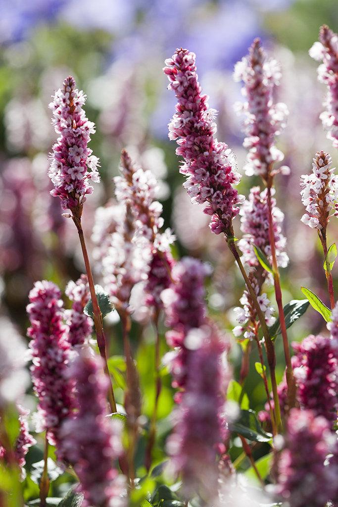persicaria flowers